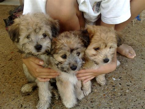maltese shih tzu puppies for sale vic maltese puppies for sale in new zealand maltese puppies