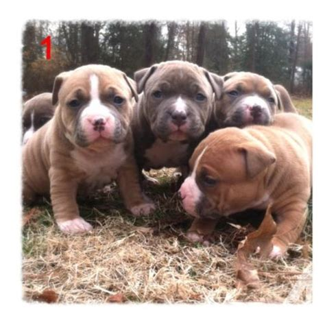 4 week pitbull puppy 4 weeks photos razors edge blue nose bully style pitbull puppies for sale in