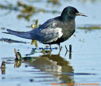 pa fish and boat commission division of licensing and registration black tern