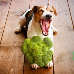 dogs broccoli can dogs eat broccoli or cooked and how much is much