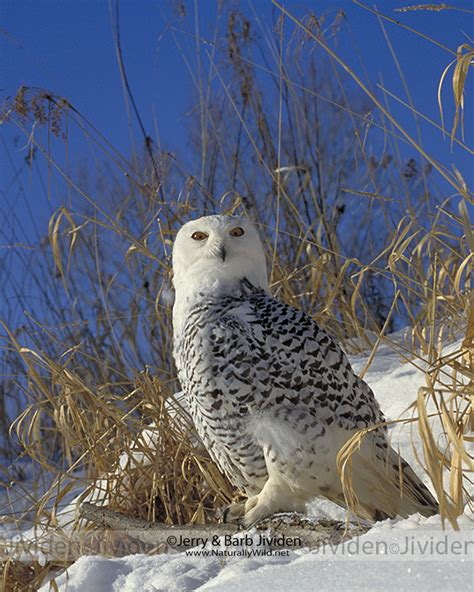 quot snowy perch quot snowy owl by 169 jerry barb jividen flickr