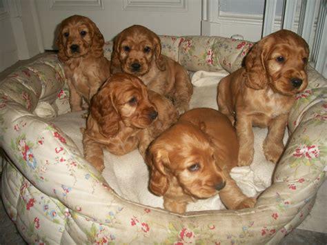 golden cocker spaniel puppies golden cocker spaniel puppy holmfirth west pets4homes