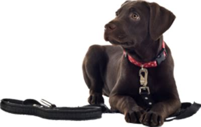 what age to start leash a puppy archives for september 2016 the pet