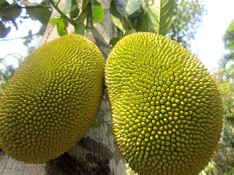 imagenes de jackfruit flavors of brazil fruits of brazil jackfruit jaca