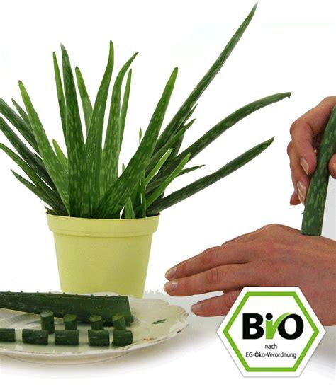 Pflege Aloe Vera Pflanzen 2373 by Bio Aloe Vera Zimmerpflanzen A Z Bei Baldur Garten