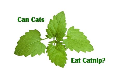 what happens if a eats cat food can cats eat catnip purrfect cat diet