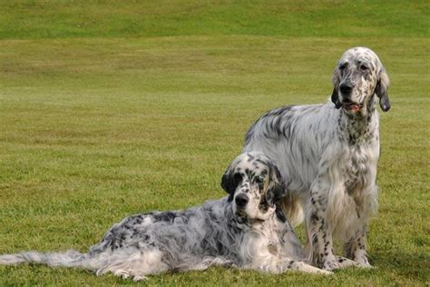 48 best images about english setter on pinterest 48 best english setter images on pinterest dog photos