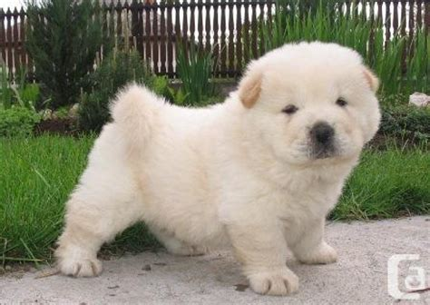 chow chow puppies for adoption chow chow puppies for adoption for sale in duncan columbia classifieds