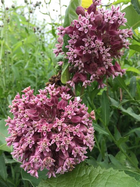 Milkweed Garden by Plant Milkweed For Monarchs The Garden Diaries