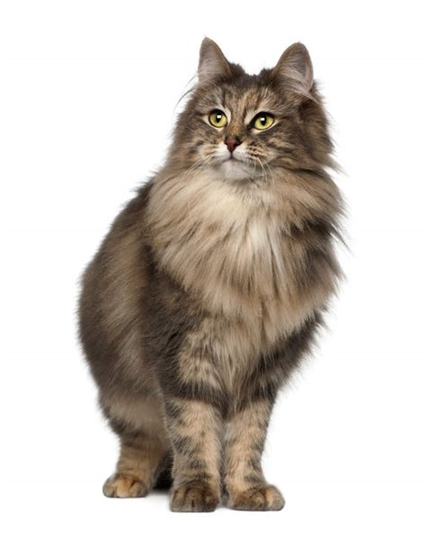 Norwegian Forest Cat   Cats   Breed Information   Omlet