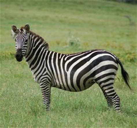 zebra möbel which disney villain are you playbuzz