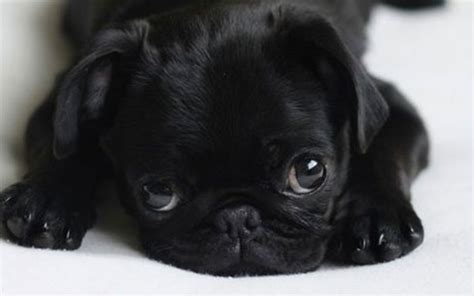 baby pug wallpaper baby pug wallpaper 3 cool hd wallpaper dogbreedswallpapers
