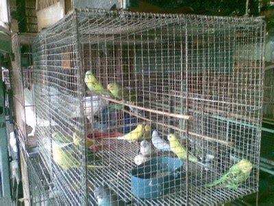 Alas Kandang Koloni kandang burung parkit ciblek gacor mania