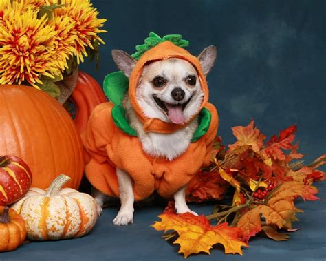 puppy pumpkin the cutest costumes for pets margaritaville