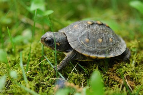 World Turtle Day celebration will include turtle races