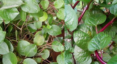 manfaat daun binahong  obat   obat kulit