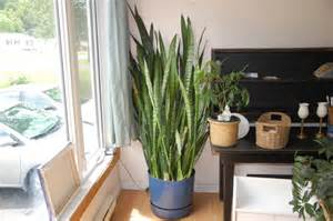 mother in law s tongue house plant tips to nurture your green thumb from a self