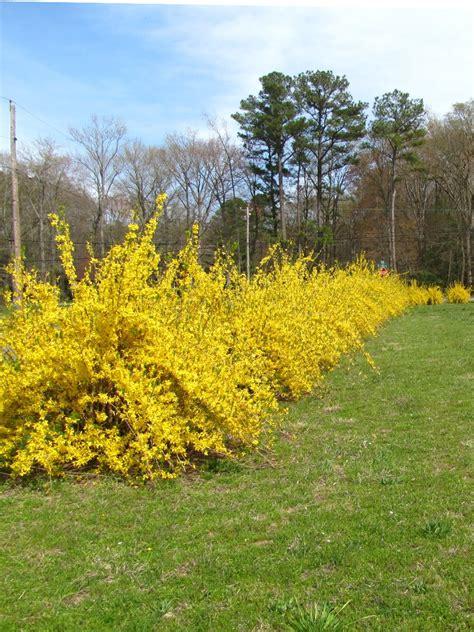 views from the garden forsythia yellow flowering shrub