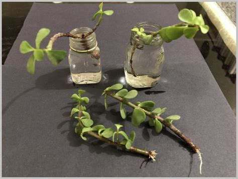 rooting succulents  water propagate jade plant