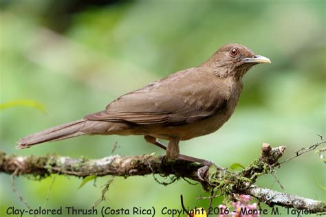 clay colored thrush clay colored thrush