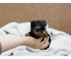 shih tzu puppies for sale in topeka kansas shih tzu puppies for adoption animals almena kansas announcement 25859
