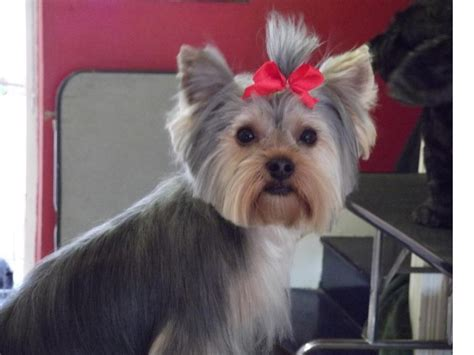 pictures of yorkie teddy bear cuts puppy cut pets pinterest