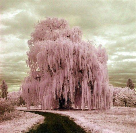 frozen weeping willow beautiful willow trees so