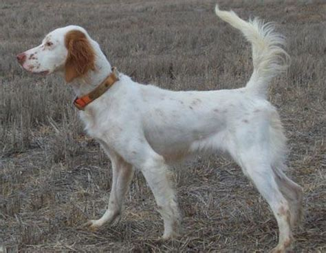 english setter started dogs for sale english setters dogs for sale and english on pinterest