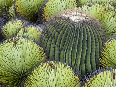 chihuahuan desert plants u s deserts the great lakes pinterest barrel cactus cacti and