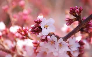 pictures of cherry blossoms wallpapers cherry flowers wallpapers