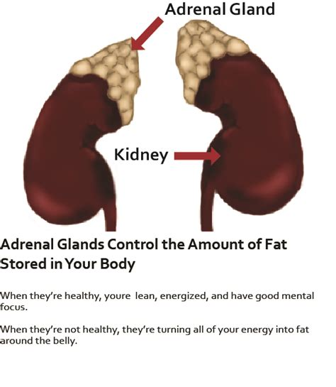Detox Gland by Adrenal Gland Detox Related Keywords Adrenal Gland Detox