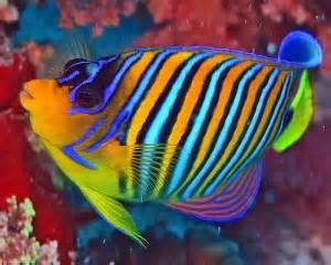 Regal or Royal (Pygoplites diacanthus) Marine Saltwater Angelfish Care