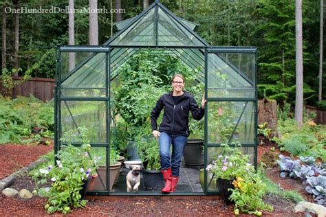 Growing Vegetables in a Greenhouse   Harvesting Tomatoes