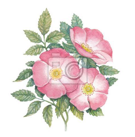wild rose iowa state flower travel iowa usa fototapete heckenrose aquarell illustration blume pixers de