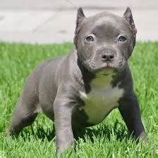 pitbull puppies for sale in oklahoma american pit bull terrier puppies for sale oklahoma city ok 235605