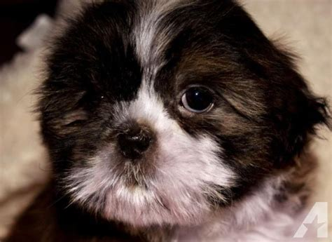 hypoallergenic dogs shih tzu shipoo puppies shih tzu teacup poodle hypoallergenic for sale in nashville