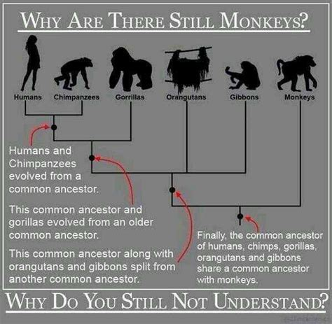 chimpanzees and human evolution books why are there still monkeys evolution science
