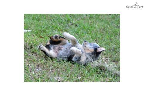 australian shepherd blue heeler puppies german shepherd mix puppies for adoption book covers