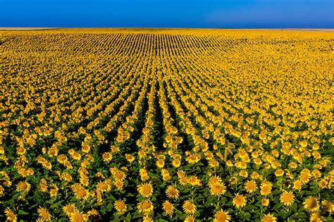 sunflowers in kansas sunflower fields grant near the colorado state line