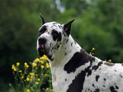 Photo chien Dogue allemand - 59613 - Wamiz