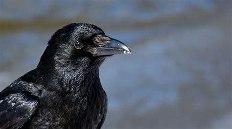 common raven snow  photo  pixabay