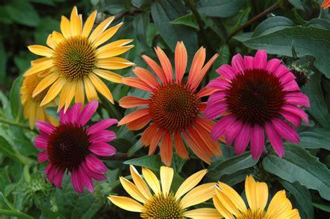 echinacea auntie dogma s garden spot