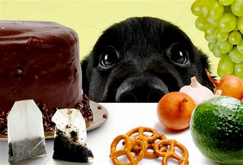 food for dogs toxic foods what you should not feed your retriever