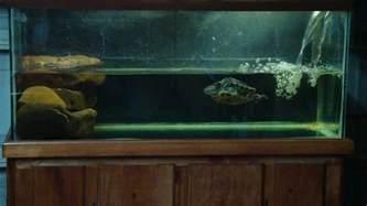 cichlids com 75g red eared slider tank