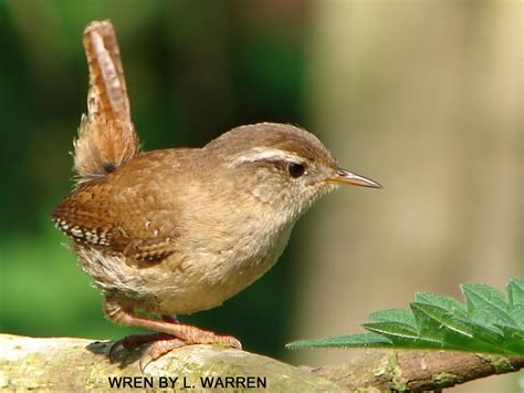bloxwatch garden favourites the wren