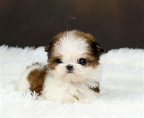 grown teacup shih tzu 1000 ideas about teacup breeds on micro teacup dogs breeds