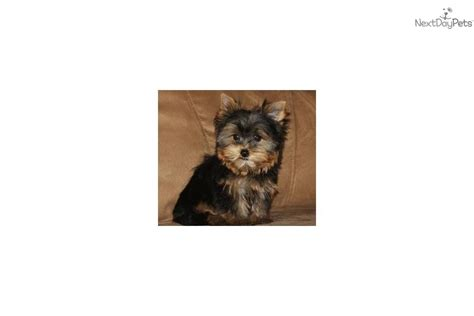 yorkie black and gold meet porsche a terrier yorkie puppy for sale for 995 teacup