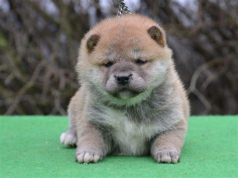 shiba inu puppies price queenie shiba inu puppy for sale puppy