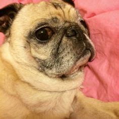 pug selfie pugs best breed on 6365 pins