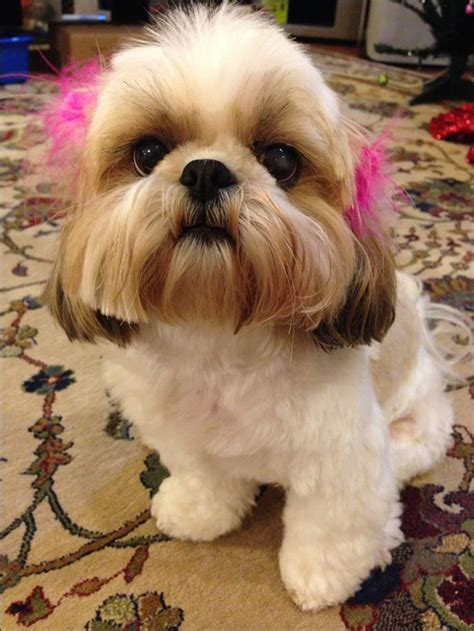 shih tzu sunglasses puppy pictures small dogs are the cutest animals